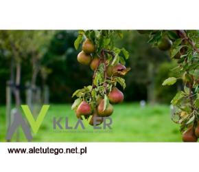 KRÓTKOTERMINOWA OFERTA wyjazd już 12-09-2021 zbiory jabłek i gruszek!!!